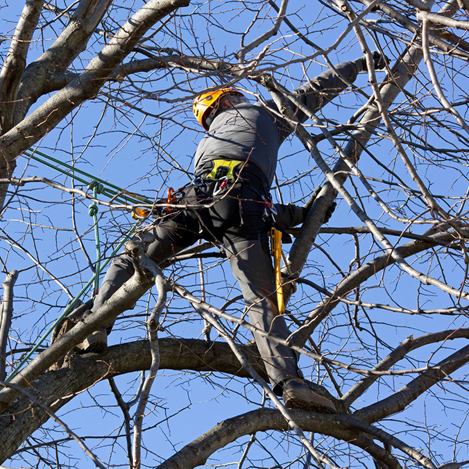 arborist pruning tree limbs