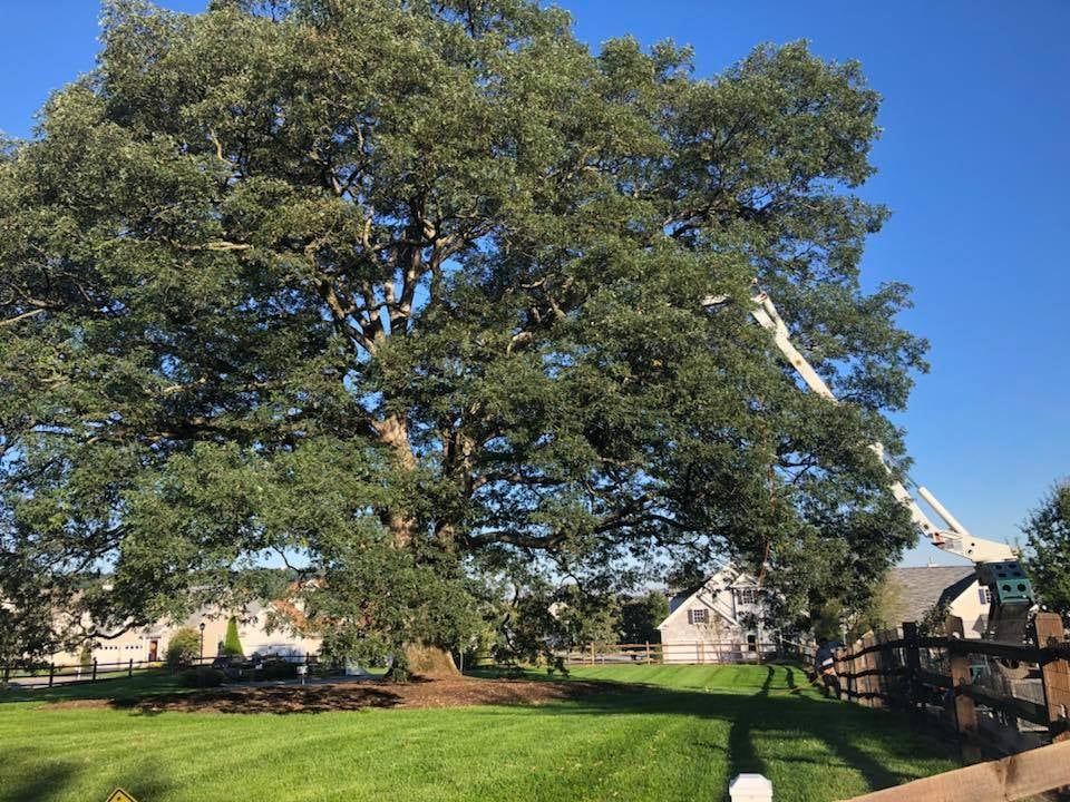 trimming large tree that was struck by lightning