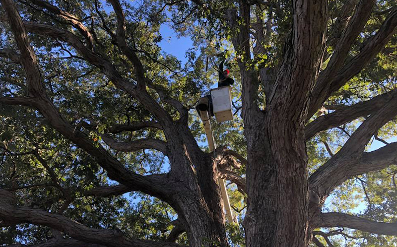 arborist high in tree pruning