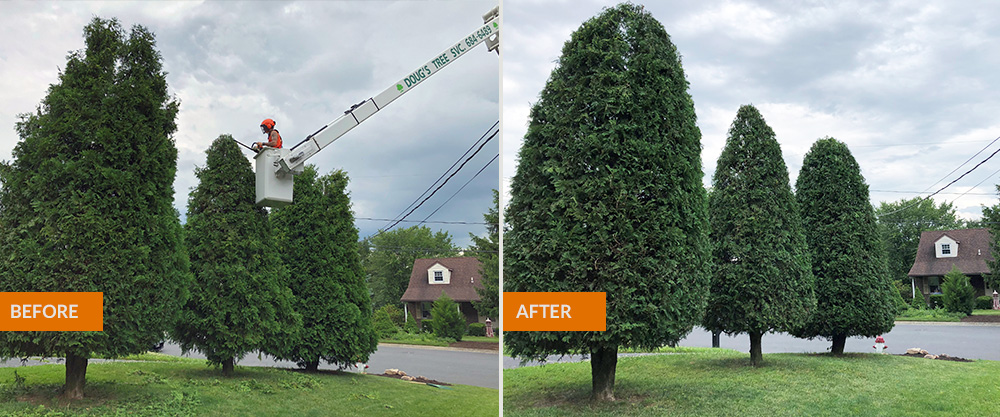 trees trimmed before/after photo